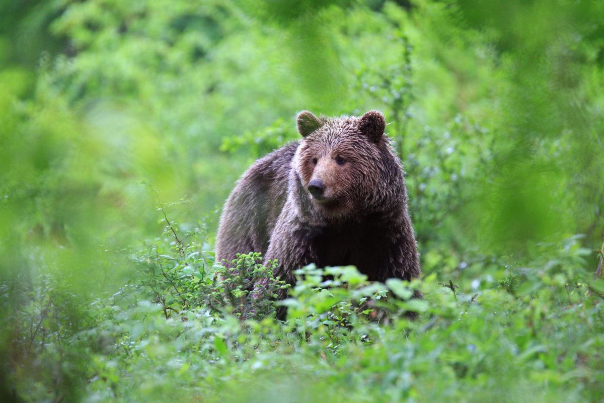 Bear safari in Slovenia