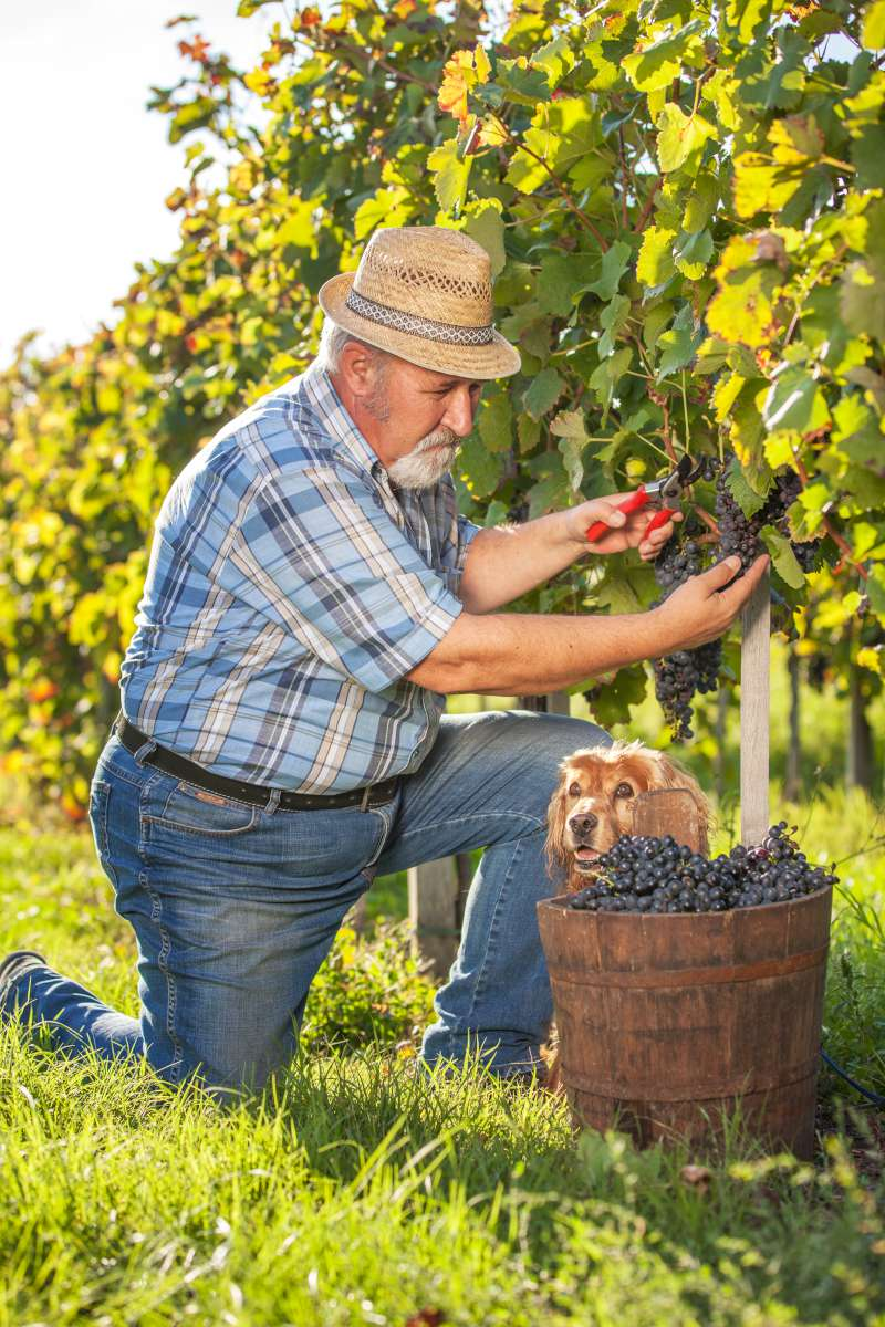 Grape harvest in Slovenia