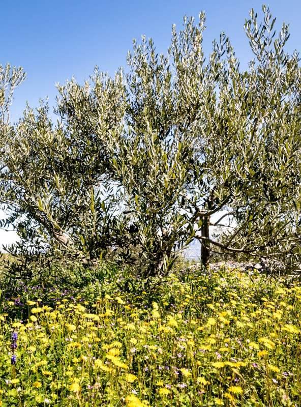 Isitria in spring
