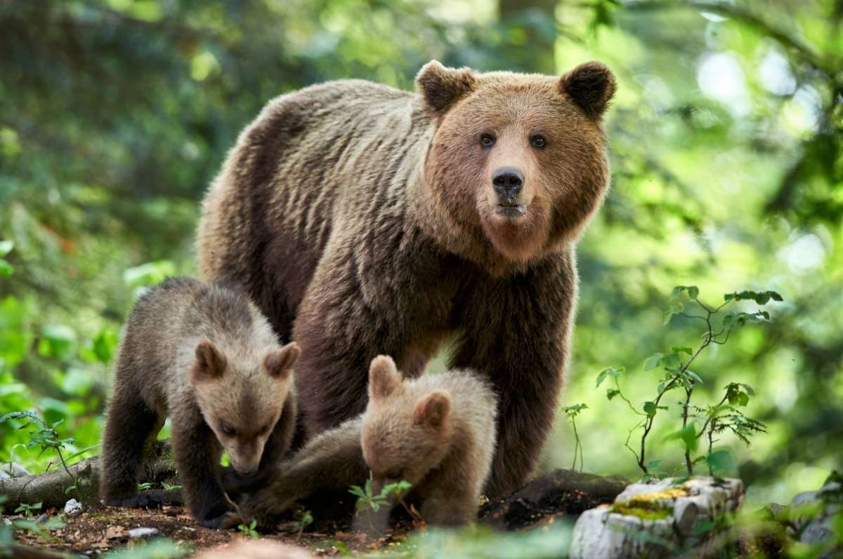 Brown bear safri in Slovenia