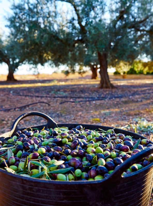 Autumn holidays 2020 in Slovenia & Croatia - olives