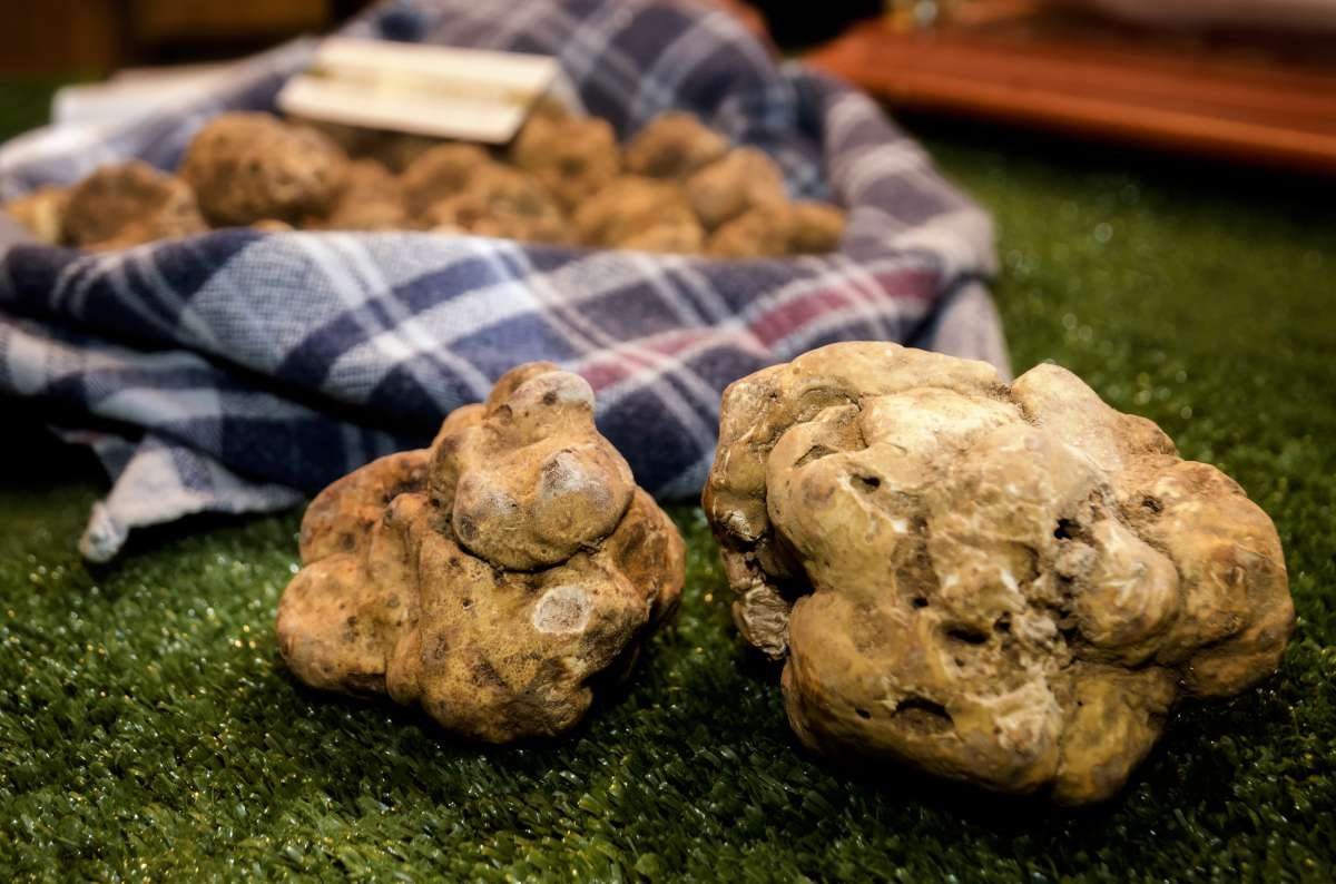 White truffle search in Istria, Croatia