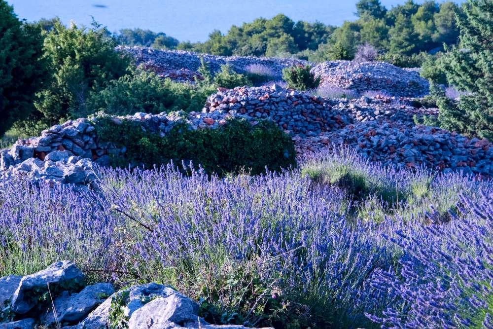 Lavender in Croatia