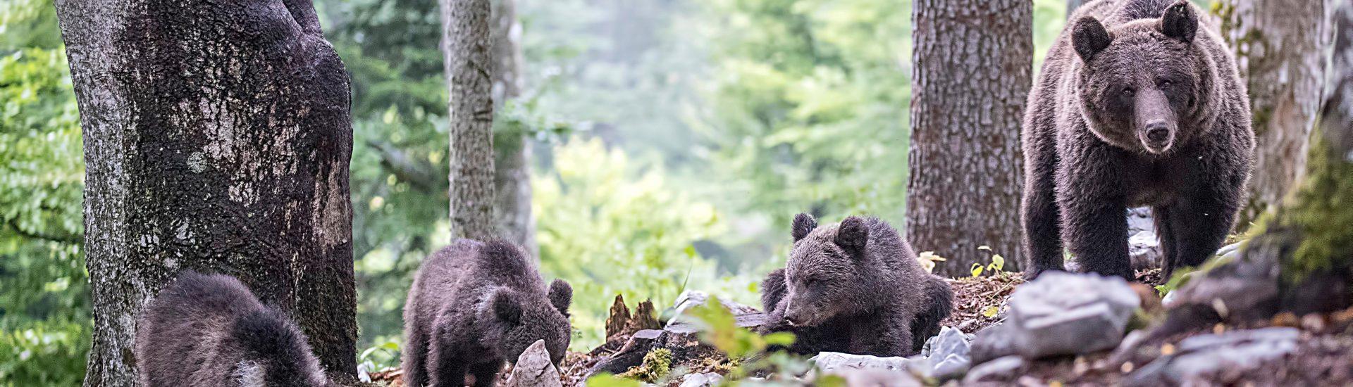 Safari de osos