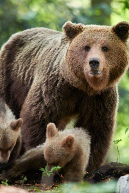 Brown bear watching in Slovenia